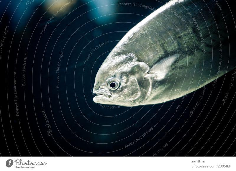 Nature White Ocean Blue Black Animal Environment Fish Animal face Silver Aquarium Environmental protection Scales