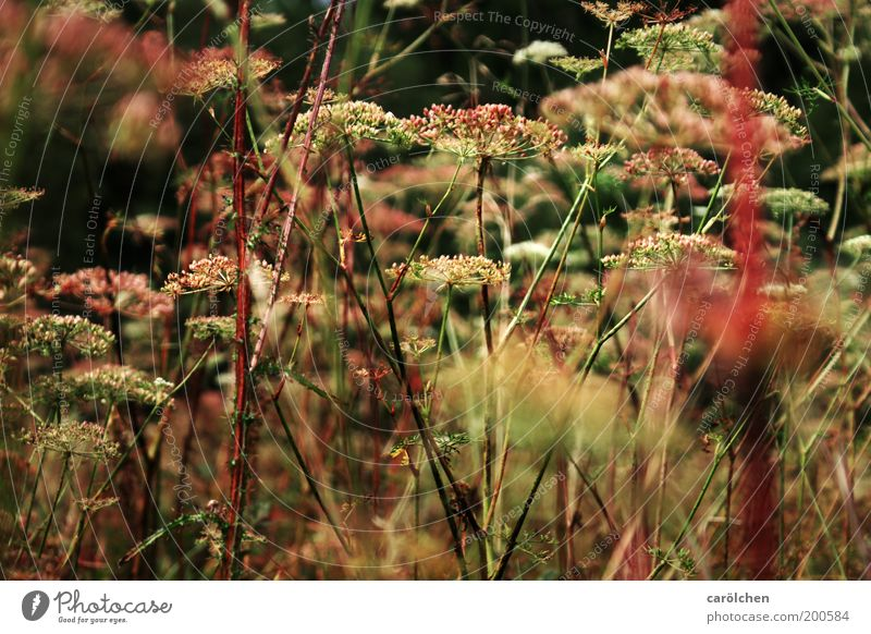 wild meadow Environment Nature Landscape Plant Grass Bushes Foliage plant Wild plant Meadow Green Pink Red Weed Natural Meadow flower Umbellifer hogweed