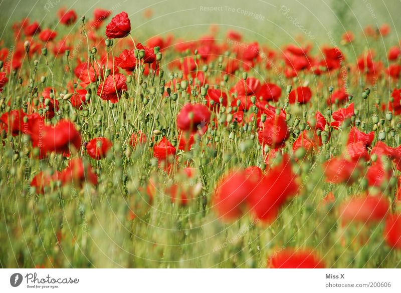 poppy field Summer Environment Nature Plant Flower Blossom Agricultural crop Meadow Field Blossoming Red Colour Poppy Poppy blossom Poppy field Flower meadow