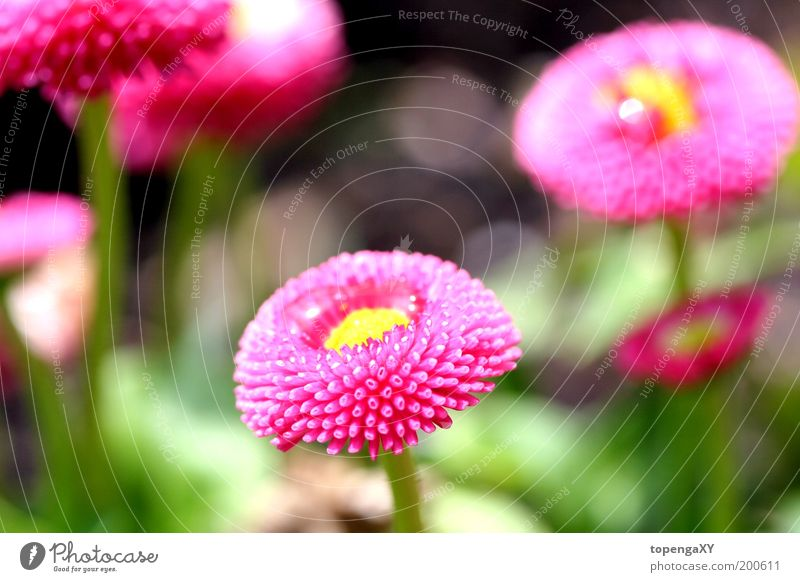 Nature Sun Flower Plant Meadow Blossom Grass Spring Pink Cute Daisy