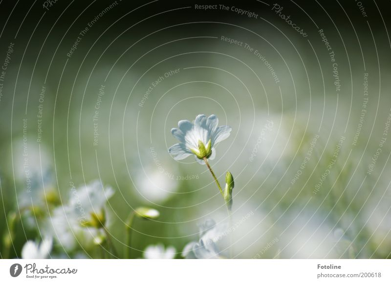 Nature White Flower Green Plant Blossom Spring Warmth Landscape Bright Environment Soft Blossom leave Blur
