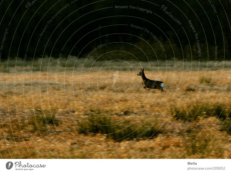 Speed is not witchcraft Environment Nature Landscape Animal Meadow Field Forest Wild animal Roe deer 1 Running Movement Walking Free Natural Brown Moody Freedom