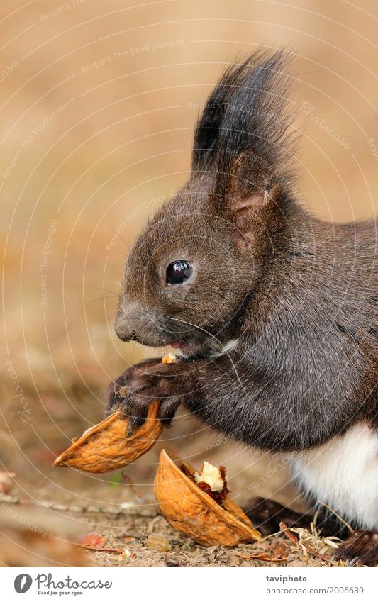 cute little red squirrel eating nut Eating Beautiful Garden Nature Animal Park Forest Fur coat Sit Small Long Funny Natural Cute Wild Brown Gray Red Appetite