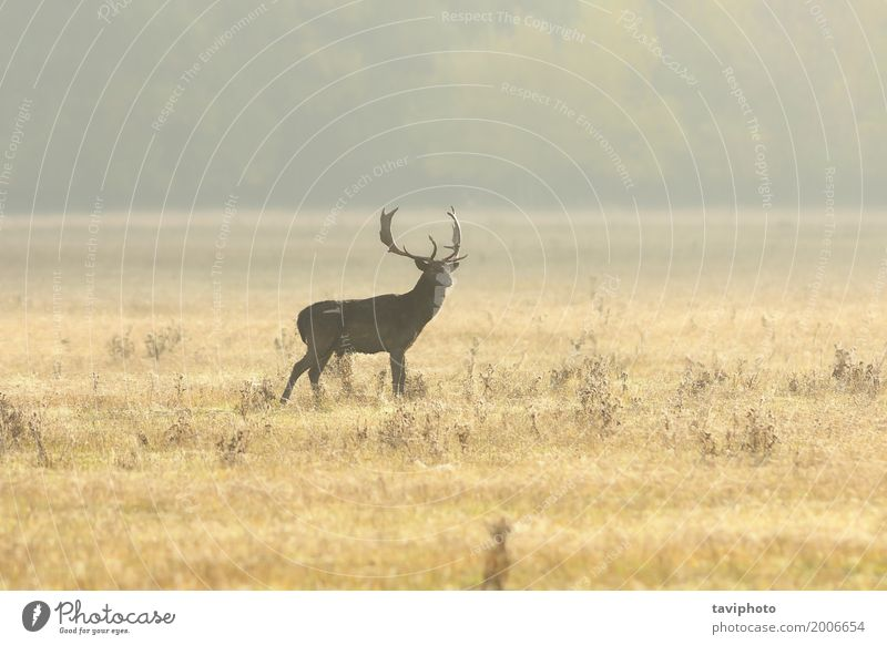 fallow deer buck walking on lawn in the morning Beautiful Playing Hunting Man Adults Nature Landscape Animal Autumn Fog Grass Park Meadow Forest Large Natural
