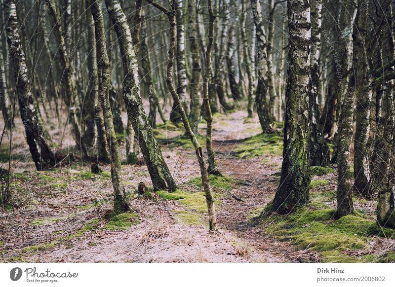 Path in birch forest Nature Landscape Plant Bog Marsh Green Environmental protection Biology Primordial Ecological Footpath Moor birch Kaltenhofer Moor