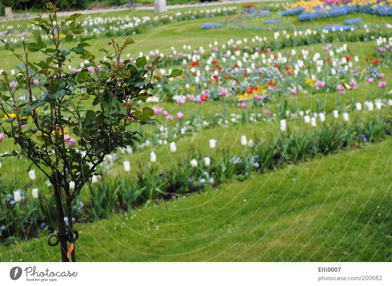 Nature Tree Flower Plant Colour Meadow Grass Spring Park Design Elegant Rose Fragrance Tulip Garden Bed (Horticulture) Landscape