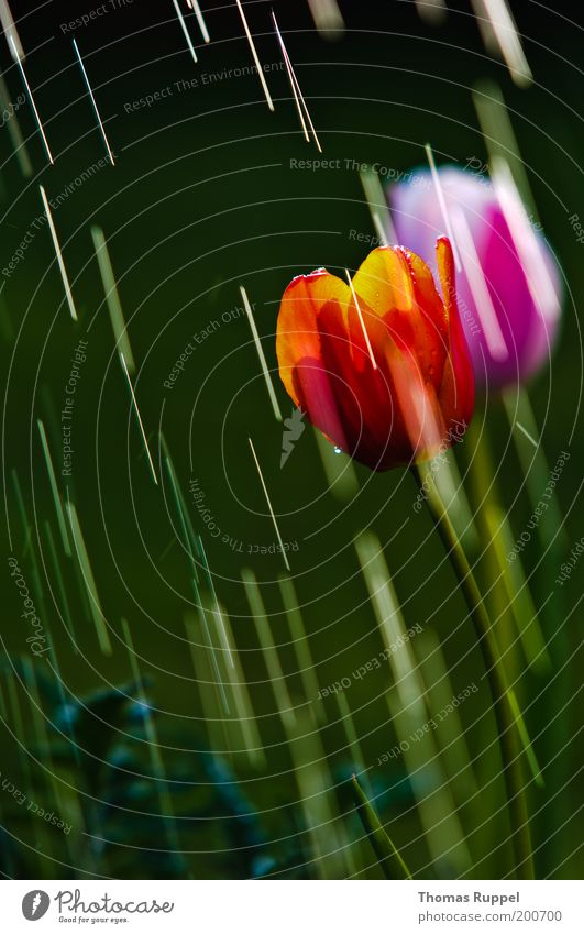 Tulip under fire Nature Plant Water Drops of water Spring Climate Weather Bad weather Rain Flower Blossom Foliage plant Garden Fresh Wet Beautiful Green Pink
