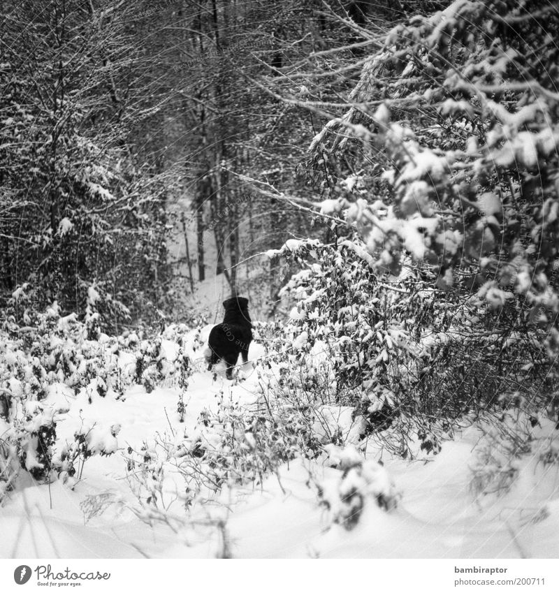 Freedom behind it Nature Winter Snow Forest Animal Pet Dog Pelt 1 Observe Looking Curiosity Wild Love of animals Longing Wanderlust Loneliness Analog