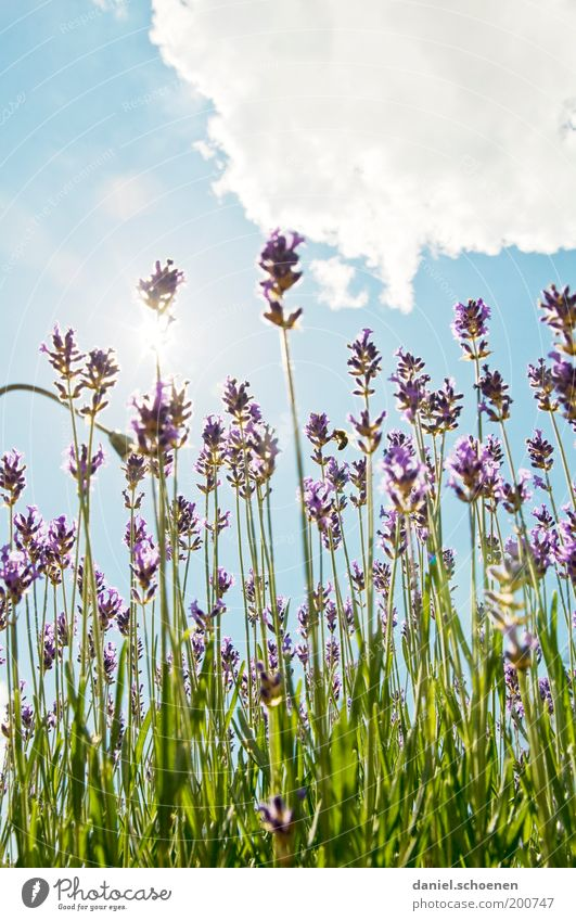 Nature Sky White Sun Green Blue Plant Summer Clouds Blossom Bright Field Environment Climate Violet Herbs and spices