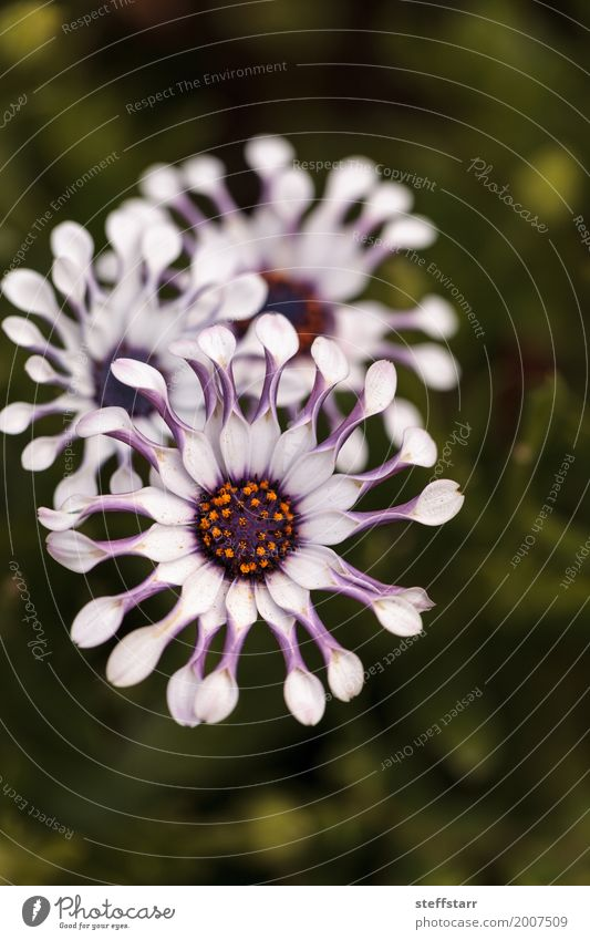 Osteospermum Whirligig daisy Garden Nature Plant Flower Blossom Meadow Green Violet Pink Blossom leave Purple pinched petals spring Meadow flower Colour photo