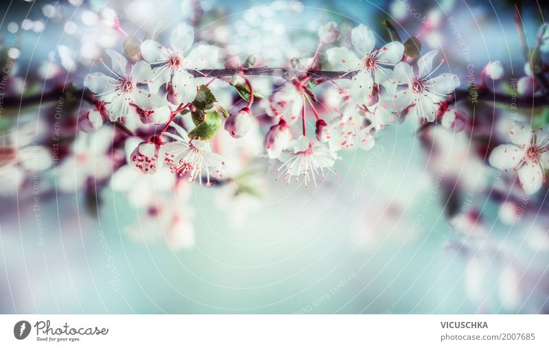 Beautiful spring blossom from the cherry tree Design Garden Nature Plant Sky Sunlight Spring Summer Beautiful weather Tree Flower Leaf Blossom Park Blossoming