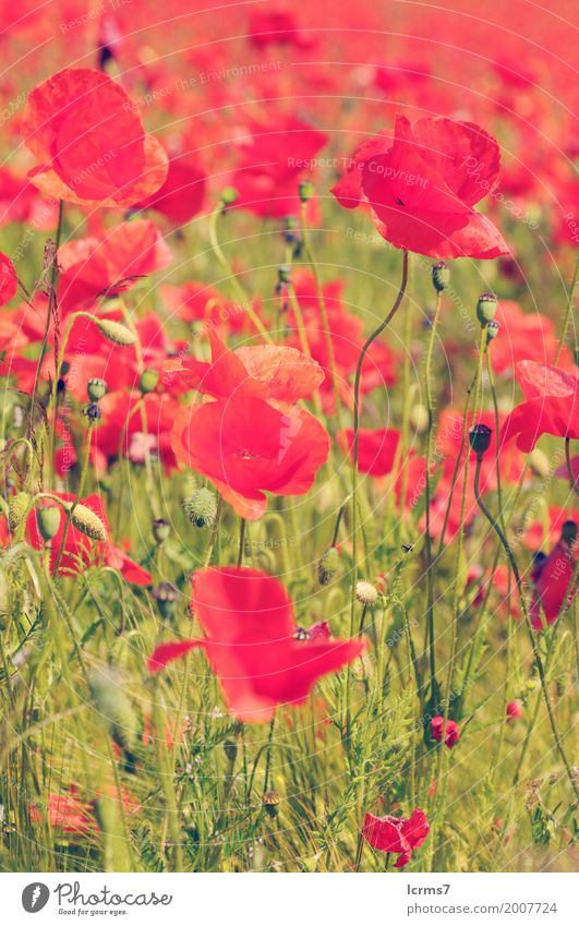 poppy field in summertime. vintage retouch Summer Nature Green Red flower sky flowers sun landscape agriculture sunny bloom countryside Colour photo Day