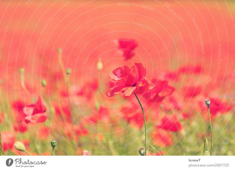 poppy field in summertime. vintage retouch Summer Nature Contentment red flower sky flowers sun landscape green agriculture sunny bloom countryside Colour photo