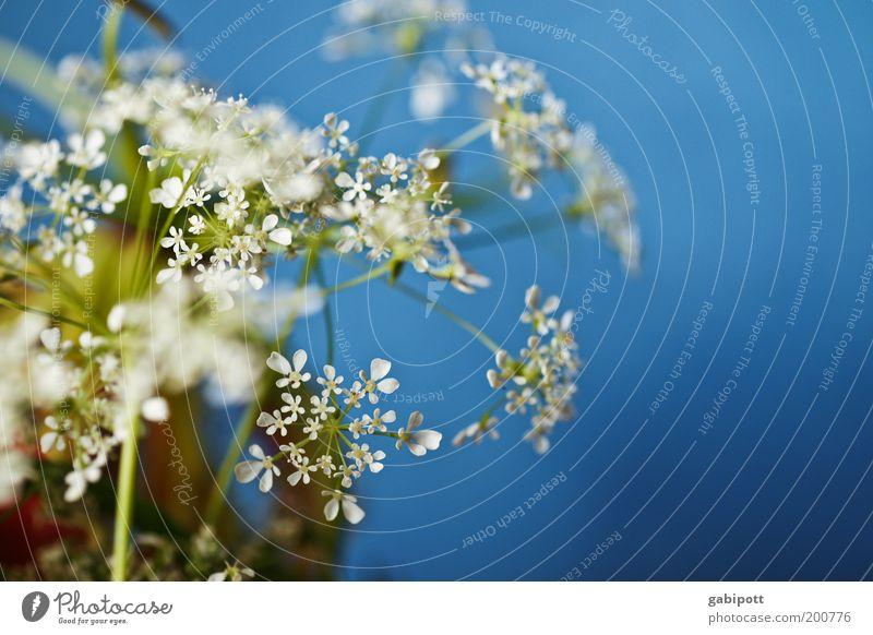 White Flower Blue Plant Colour Blossom Spring Decoration Clean Uniqueness Fragrance Positive Foliage plant Wild plant