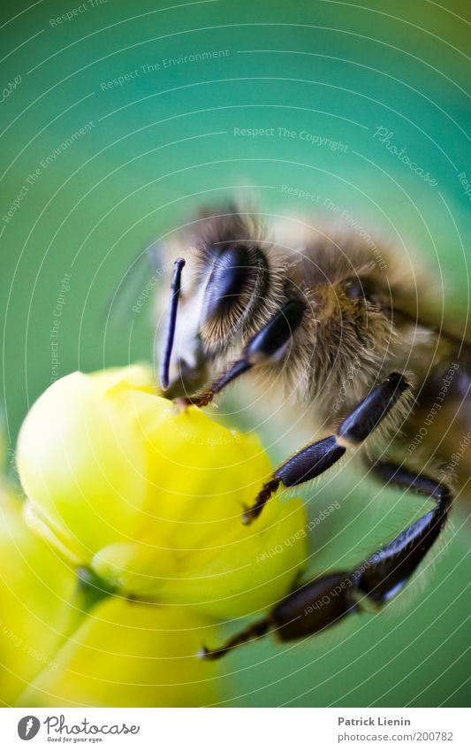 delicious nectar! Nature Animal Plant Blossom Meadow Animal face 1 Bee Nectar Yellow Feeler Clear Compound eye Colour photo Close-up Detail