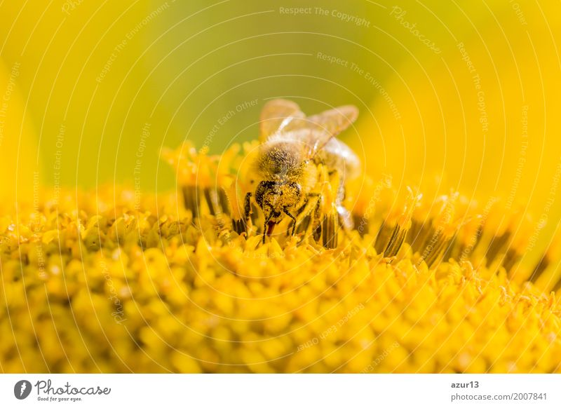 Honey bee pollinating blossom of yellow sunflower at summertime Summer Sun Sunbathing Environment Nature Plant Animal Elements Earth Sunlight Spring Climate