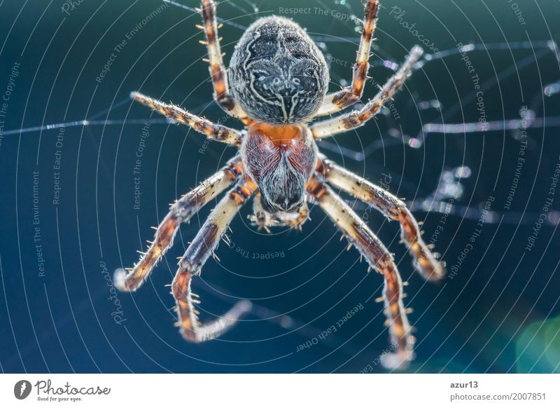 Big arachnid spider in its spiderweb waiting silent for victims Hallowe'en Environment Nature Animal Spring Summer Autumn Winter Climate Climate change