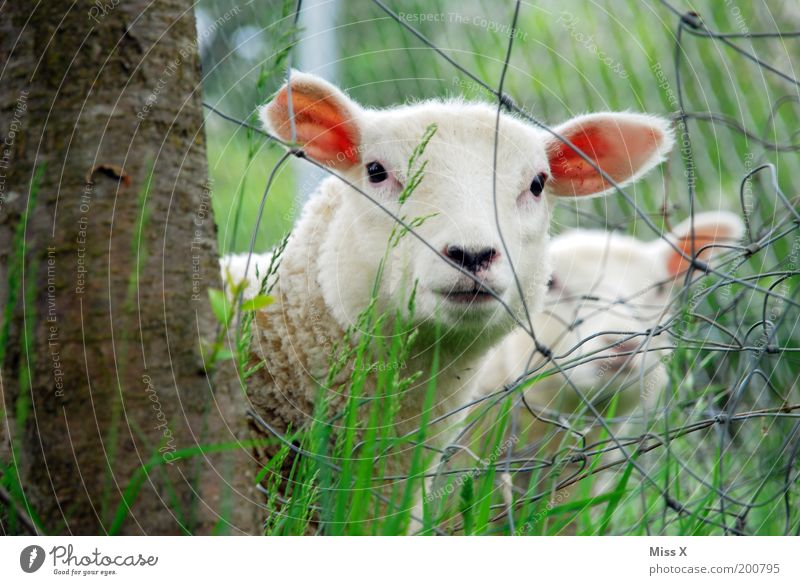 KNAST Nature Spring Summer Tree Grass Animal Farm animal 2 Group of animals Herd Baby animal Animal family Soft Timidity Curiosity Lamb Sheep Fence Wire fence