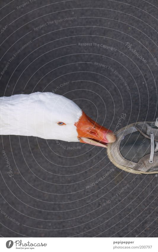 Human being White Animal Head Feet Footwear Bird Anger Touch Appetite Sneakers To feed Beak Aggression Goose Feeding
