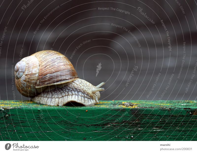 The way is the goal Nature Animal Wild animal 1 Small Vineyard snail Snail Slimy Slowly Close-up Snail shell Wooden board Feeler Colour photo Exterior shot