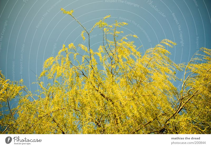 YELLOW GREEN Environment Nature Landscape Plant Cloudless sky Spring Beautiful weather Tree Blossom Blossoming Growth Life Weeping willow Branched Treetop