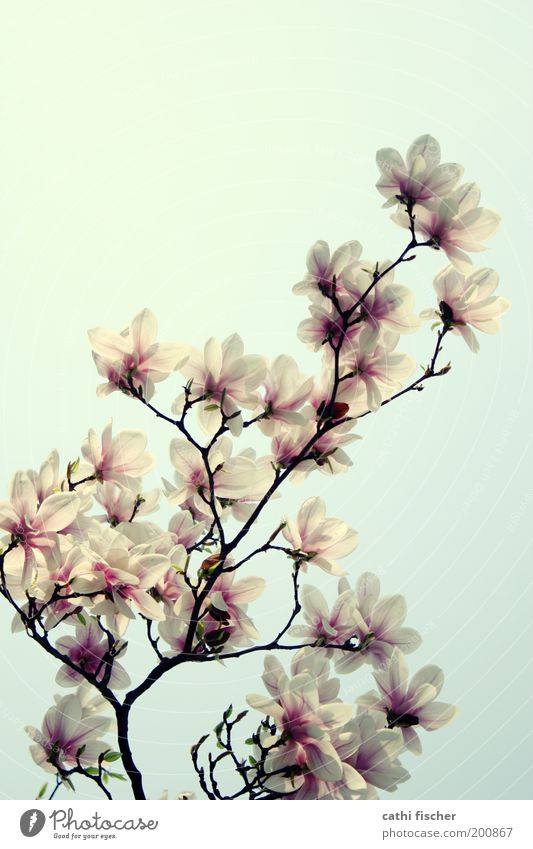Sky Nature Plant Beautiful White Environment Spring Blossom Pink Park Growth Branch Blossoming Beautiful weather Kitsch Flower