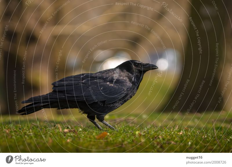 crow Environment Nature Animal Sunlight Spring Summer Autumn Tree Grass Garden Park Meadow Forest Wild animal Bird Animal face Wing Crow 1 Observe Stand