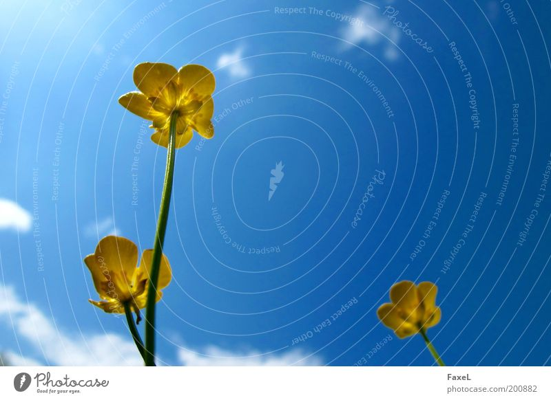 Nature Sky Flower Blue Yellow Relaxation Meadow Blossom Spring Contentment Elegant Perspective Esthetic Warm-heartedness Beautiful weather Marsh marigold