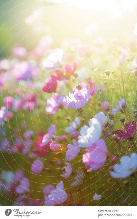 Summer Flowers Flower Summer