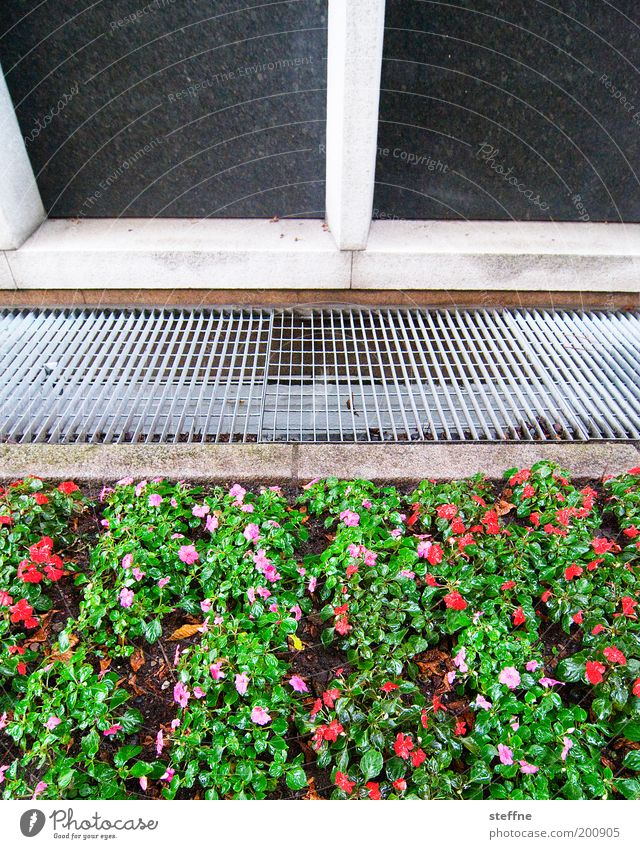 green-pink red beets Plant Flower Facade Beautiful Garden Bed (Horticulture) Pansy Grating Colour photo Exterior shot Day Front garden Ventilation shaft
