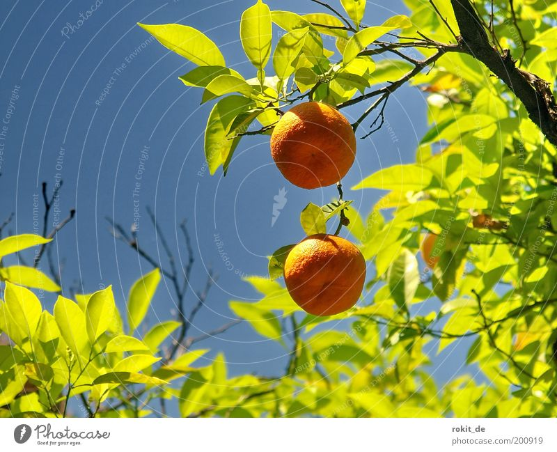 Sweet fruits Fruit Orange Nature Plant Beautiful weather Tree Garden Fragrance Fresh Healthy Good Round Green Colour Bright green Blue sky Tangerine Spain