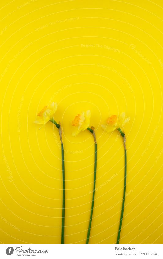 #AS# Easter yellow V Nature Flower Yellow Narcissus Blossom Green Sun Left Easter gift Easter wish Gaudy Colour photo Studio shot Deserted Neutral Background