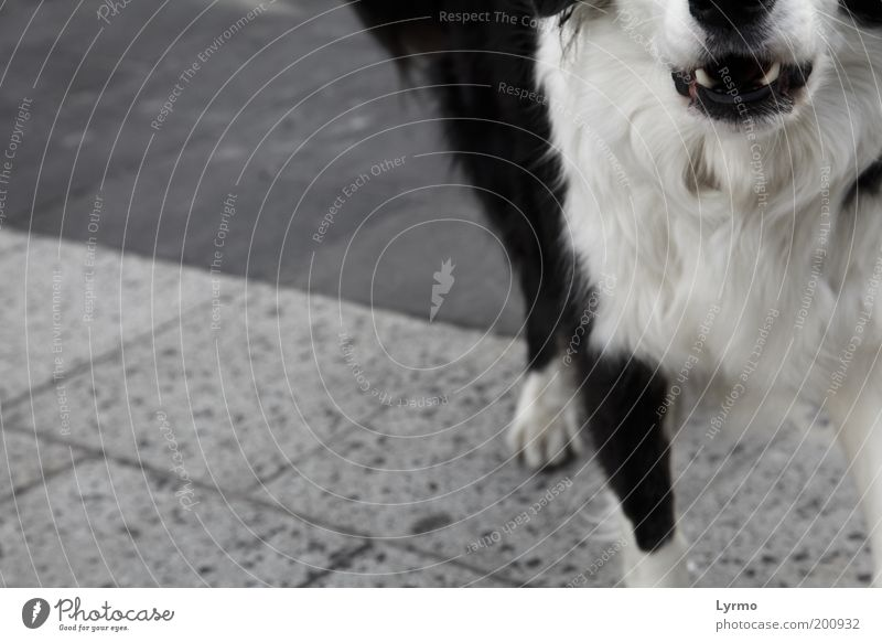 White Black Animal Life Emotions Dog Stone Fear Concrete Crazy Communicate Stand Set of teeth Anger Pelt Sidewalk