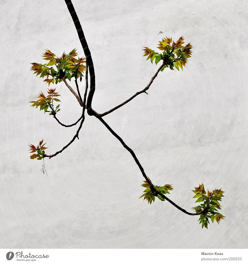 Nature Tree Plant Leaf Wall (barrier) Fresh Growth New Branch Blossoming Few Pollen Illness Sparse Ash-tree