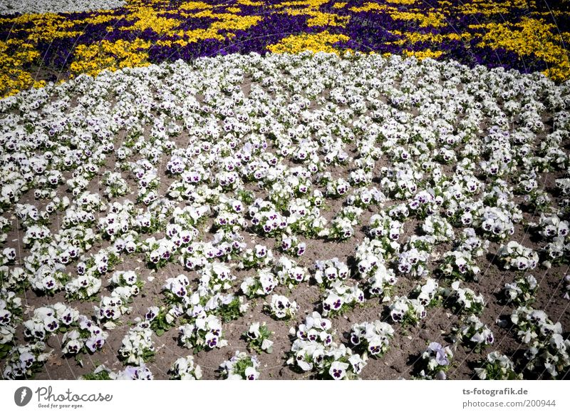 Plant Colour Summer White Flower Spring Garden Sand Park Contentment Decoration Earth Multiple Esthetic Violet Well-being