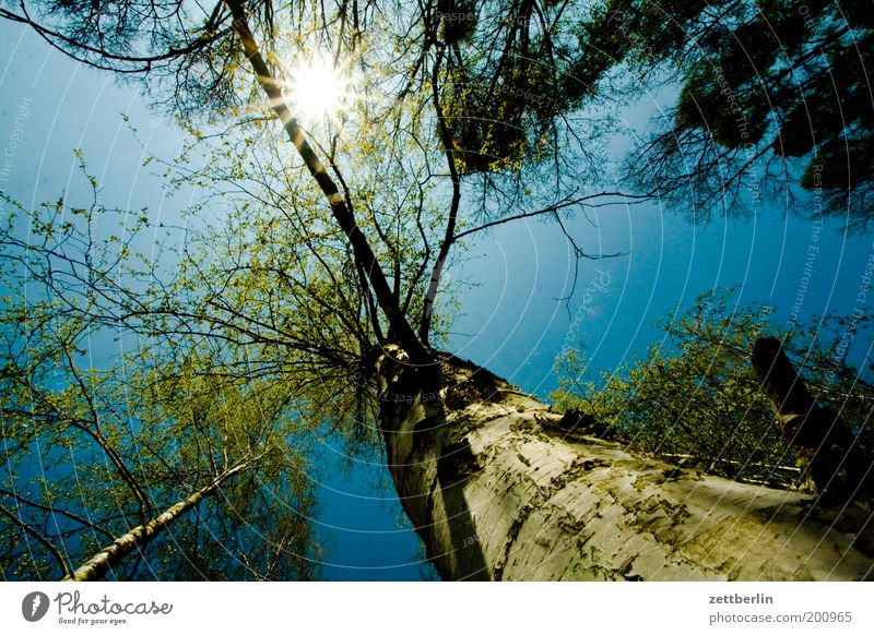 Sky Nature Blue Tree Sun Summer Forest Environment Spring Tree trunk Upward Treetop Environmental protection Copy Space Blue sky Branchage