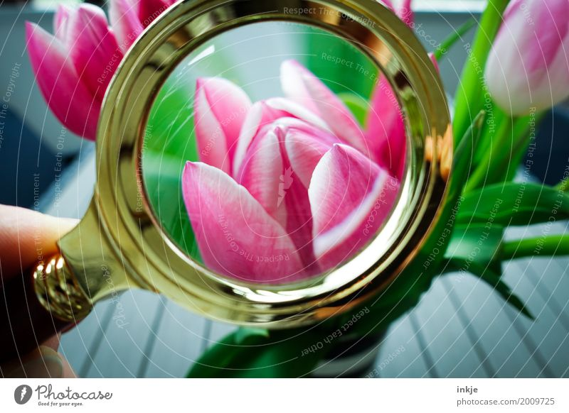 searched, found. Spring. Nature Flower Tulip Blossom bouquet of tulips Bouquet Magnifying glass Observe Blossoming Discover Looking Fresh Beautiful Pink