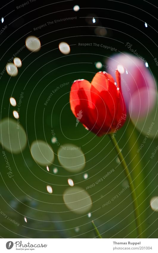 Tulip and the rain Nature Plant Water Drops of water Spring Climate Beautiful weather Bad weather Rain Flower Blossom Foliage plant Garden Wet Green Pink Red