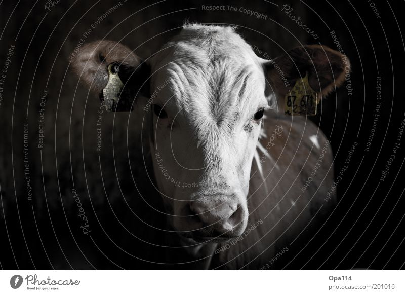 little calf Animal Farm animal Pelt 1 Looking Black White Black & white photo Interior shot Copy Space left Calf Digits and numbers Ear Agriculture