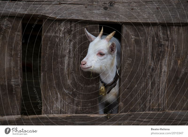 I want to get out of here. Baby Animal Farm animal Animal face Goats Barn Wood Observe Movement Think Discover To enjoy Crouch Jump Stand Growth Wait