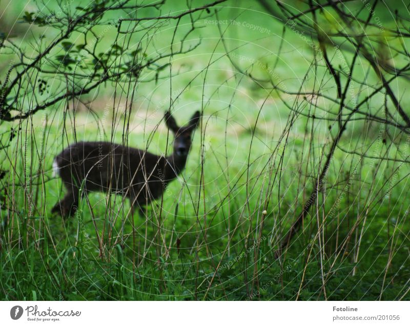Not a good hiding place. Environment Nature Landscape Plant Animal Bushes Garden Park Forest Wild animal Pelt 1 Looking Free Thin Brown Green Roe deer