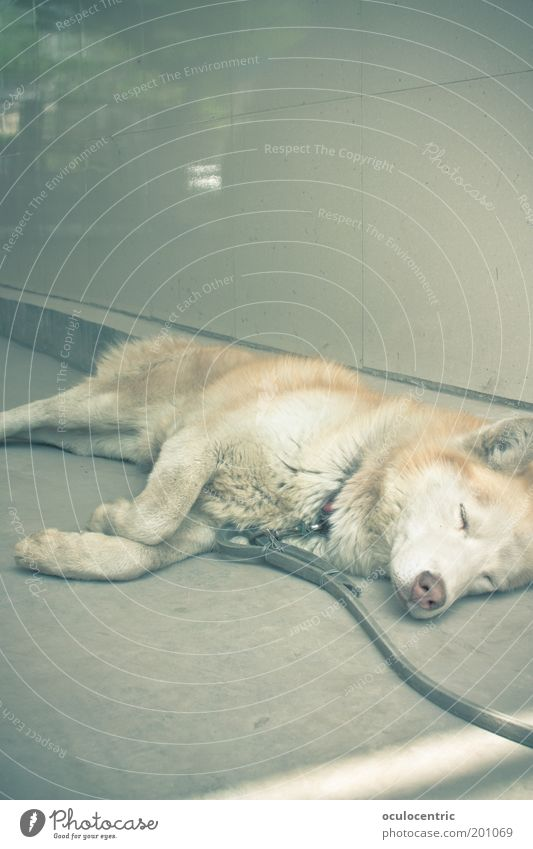 come on nelson Animal Dog 1 Old Sleep Bright Cuddly Climate Husky Doze Dream Relaxation Backyard Hot Shackled Copper Colour photo Subdued colour Exterior shot