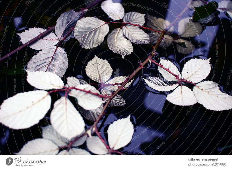 rose water Environment Nature Plant Water Leaf Wild plant Wet Natural Thorny Cold Feeble Transience Change Blackberry leaf Surface of water Exterior shot