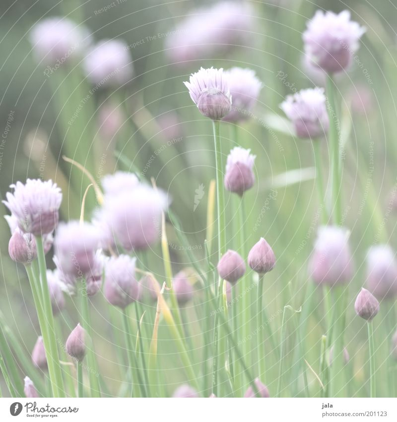 in the herb garden Food Herbs and spices Nutrition Plant Flower Agricultural crop Bright Healthy Medicinal plant Chives Colour photo Subdued colour