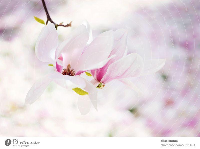 magnolia Magnolia plants Magnolia blossom Magnolia tree Tree Blossom Spring White Pink Garden Blossoming Flower Delicate Leaf Exterior shot Fresh Bright