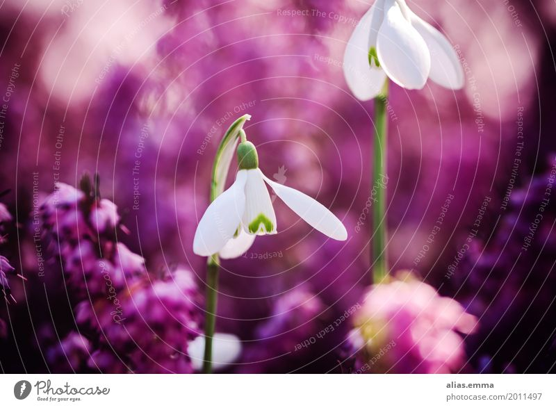 Nature Beautiful White Flower Blossom Spring Natural Garden Pink Violet Graceful Snowdrop Spring flowering plant Mountain heather