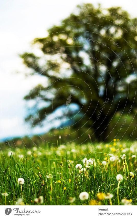 Meadow with dandelion and tree Environment Nature Landscape Plant Sun Spring Summer Climate Beautiful weather Warmth Tree Flower Grass Blossom Foliage plant