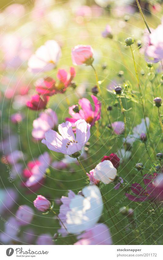 Summer flowers Flower Summer Garden Flowerbed Summerflower