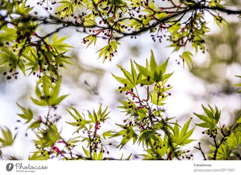 Spring Awakening II Nature Plant Sky Tree Leaf Maple tree Garden Park Blossoming Hang Growth Esthetic Elegant Brown Green Violet Pink Moody Spring fever