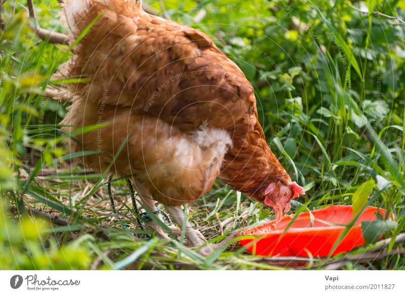 Orange chicken hen feeding Nature Plant Summer Green Red Animal Eating Yellow Natural Grass Garden Food Brown Bird Free